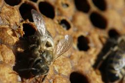 Naissance d'une abeille noire - 07. Source : http://data.abuledu.org/URI/542d149c-naissance-d-une-abeille-noire-07