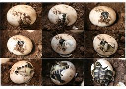 Naissance d'une tortue d'Hermann. Source : http://data.abuledu.org/URI/5185191d-naissance-d-une-tortue-d-hermann