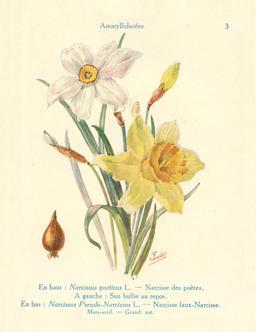 Narcisses en fleurs. Source : http://data.abuledu.org/URI/53ad9e85-narcisses-en-fleurs