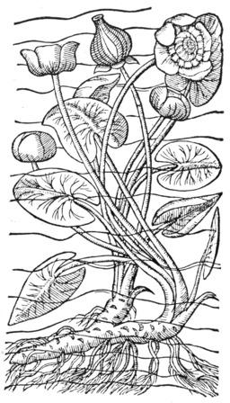 Nénuphar jaune. Source : http://data.abuledu.org/URI/50579bc6-nenuphar-jaune