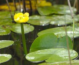 Nénuphar jaune des marais. Source : http://data.abuledu.org/URI/55abf463-nenuphar-jaune-des-marais