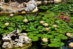 Nénuphars dans un bassin de jardin japonais. Source : http://data.abuledu.org/URI/53161199-nenuphars-dans-un-bassin-de-jardin-japonais