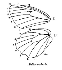 Nervation d'ailes de papillon. Source : http://data.abuledu.org/URI/5022abc0-nervation-d-ailes-de-papillon