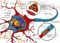 Neurones et synapses. Source : http://data.abuledu.org/URI/52cf3db2-neurones-et-synapses