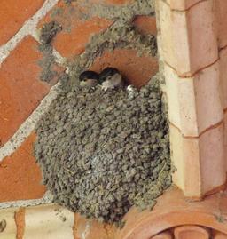 Nid d'hirondelles de fenêtre. Source : http://data.abuledu.org/URI/51882952-nid-d-hirondelles-de-fenetre