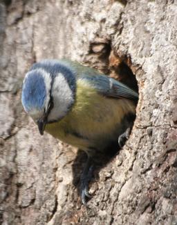 Nid de mésange bleue. Source : http://data.abuledu.org/URI/52488c5e-nid-de-mesange-bleue