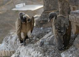 Nid de vautours. Source : http://data.abuledu.org/URI/50393dd3-nid-de-vautours