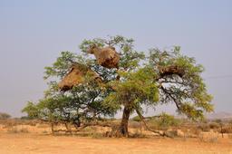 Nids collectifs de passereaux africains en Namibie. Source : http://data.abuledu.org/URI/52d1c1c4-nids-collectifs-de-passereaux-africains-en-namibie