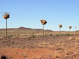 Nids collectifs de passereaux dans le désert. Source : http://data.abuledu.org/URI/52d1c3b3-nids-collectifs-de-passereaux-dans-le-desert