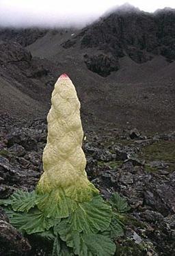 Noble rhubarbe. Source : http://data.abuledu.org/URI/50a81b86-noble-rhubarbe