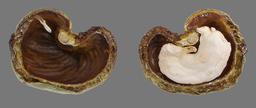 Noix de cajou et son amande. Source : http://data.abuledu.org/URI/520a2c23-noix-de-cajou-et-son-amande
