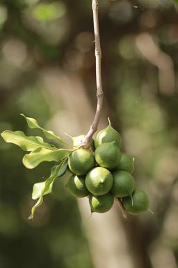 Noix de macadamia sur l'arbre. Source : http://data.abuledu.org/URI/534ad318-noix-de-macadamia-sur-l-arbre