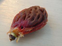 Noyau de nectarine. Source : http://data.abuledu.org/URI/50aa3a44-noyau-de-nectarine
