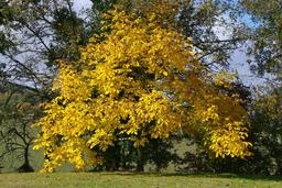 Noyer en automne. Source : http://data.abuledu.org/URI/5064c4b6-noyer-en-automne