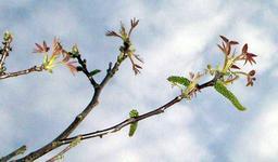 Noyer en fleurs. Source : http://data.abuledu.org/URI/518ade72-noyer-en-fleurs
