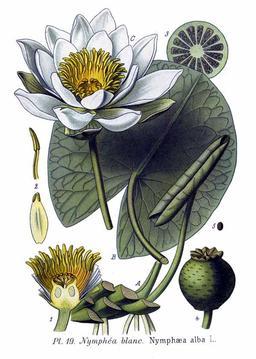 Nymphéa blanc. Source : http://data.abuledu.org/URI/50578d14-nymphea-blanc