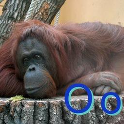 O pour l'orang-outan. Source : http://data.abuledu.org/URI/5332030a-o-pour-l-orang-outan
