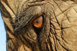 Oeil d'éléphant. Source : http://data.abuledu.org/URI/50394b98-oeil-d-elephant