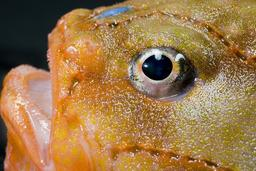 Oeil de poisson. Source : http://data.abuledu.org/URI/50394af0-oeil-de-poisson