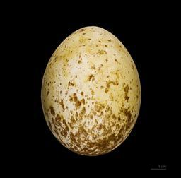 Oeuf d'aigle d'Australie. Source : http://data.abuledu.org/URI/5398263b-oeuf-d-aigle-d-australie