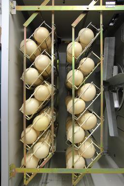 Oeufs d'autruches dans une ferme allemande. Source : http://data.abuledu.org/URI/5416e524-oeufs-d-autruches-dans-une-ferme-allemande