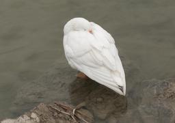 Oie blanche au repos en Turquie. Source : http://data.abuledu.org/URI/54ccfc63-oie-blanche-au-repos-en-turquie