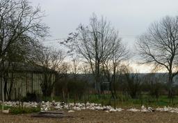 Oies de ferme en Béarn. Source : http://data.abuledu.org/URI/58669bb6-oies-de-ferme-en-bearn