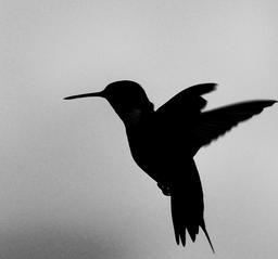 Oiseau en vol. Source : http://data.abuledu.org/URI/514e38e2-oiseau-en-vol