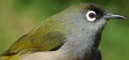 Oiseau vert de La Réunion. Source : http://data.abuledu.org/URI/521bf8c3-oiseau-vert-de-la-reunion