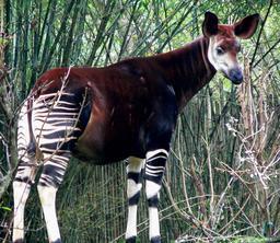 Okapi. Source : http://data.abuledu.org/URI/5076eb8d-okapi
