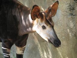 Okapi du Congo. Source : http://data.abuledu.org/URI/516d5cf9-okapi-du-congo