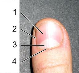 Ongle sur le doigt d'un être humain. Source : http://data.abuledu.org/URI/501ee273-ongle-sur-le-doigt-d-un-etre-humain