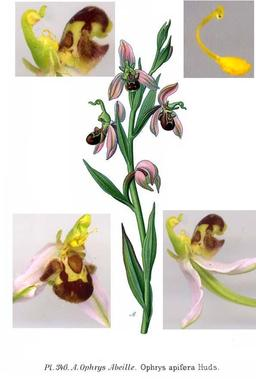 Ophrys abeille. Source : http://data.abuledu.org/URI/506409a3-ophrys-abeille