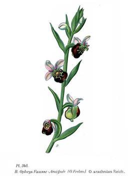 Ophrys araignée. Source : http://data.abuledu.org/URI/50640a78-ophrys-araignee