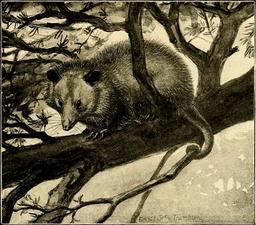 Opossum d'Amérique dans un arbre. Source : http://data.abuledu.org/URI/587ea72d-opossum-d-amerique-dans-un-arbre