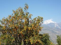 Oranger au Népal. Source : http://data.abuledu.org/URI/51defbaa-oranger-au-nepal