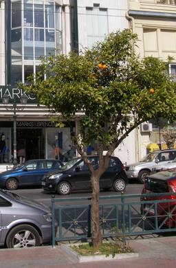 Oranger dans une rue du Pirée. Source : http://data.abuledu.org/URI/51defd79-oranger-dans-une-rue-du-piree