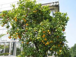 Oranger en fruits. Source : http://data.abuledu.org/URI/51deeabf-oranger-en-fruits