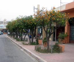 Orangers le long d'une rue au Maroc. Source : http://data.abuledu.org/URI/51defc2c-orangers-le-long-d-une-rue-au-maroc