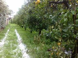 Orangers sous la neige. Source : http://data.abuledu.org/URI/51df79bc-orangers-sous-la-neige