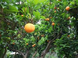 Oranges mûres en Italie. Source : http://data.abuledu.org/URI/51df7a3b-oranges-mures-en-italie