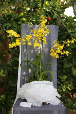 Orchidée oncidium. Source : http://data.abuledu.org/URI/505f87d1-orchidee-oncidium