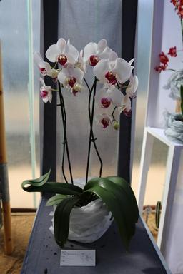 Orchidées phalaenopsis. Source : http://data.abuledu.org/URI/505f8b98-orchidees-phalaenopsis