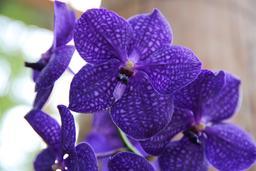 Orchidées Vandas. Source : http://data.abuledu.org/URI/505f8469-orchidees-vandas