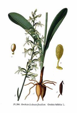 Orchis à deux feuilles. Source : http://data.abuledu.org/URI/506407c8-orchis-a-deux-feuilles