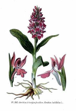 Orchis de mai à larges feuilles. Source : http://data.abuledu.org/URI/506405d7-orchis-de-mai-a-larges-feuilles