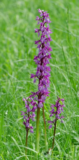 Orchis mascula. Source : http://data.abuledu.org/URI/54cfff38-orchis-mascula