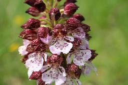 Orchis pourpre. Source : http://data.abuledu.org/URI/538375ab-orchis-purpurea