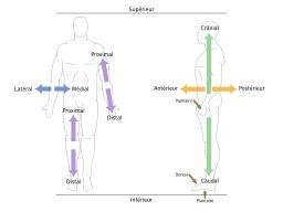 Orientations en anatomie humaine. Source : http://data.abuledu.org/URI/531af584-orientations-en-anatomie-humaine