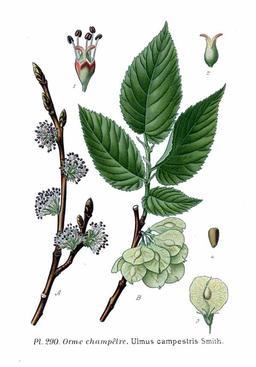Orme champêtre. Source : http://data.abuledu.org/URI/506e07a5-orme-champetre
